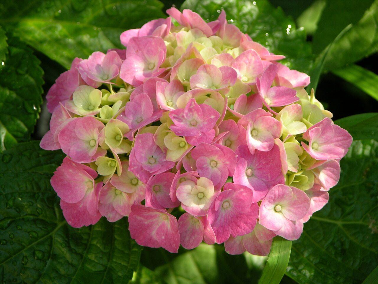 Названия многолетних садовых цветов и названиями по алфавиту